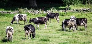 Irene Cows